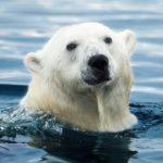 Vida extrema oso polar