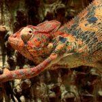 Animales Maravillosos - Camaleón rojo