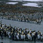 Animales Maravillosos - Colonia de pingüinos