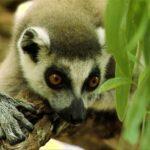 Animales Maravillosos - Lemur escondido