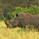 Animales Maravillosos - Rinoceronte en pradera