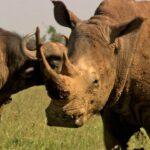 Animales Maravillosos - Rinocerontes