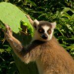 Animales Maravillosos - lemur comiendo nopal