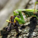 Mantis religiosa - © L. Prola