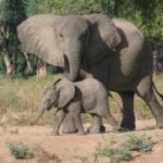 Safari épico elefantes